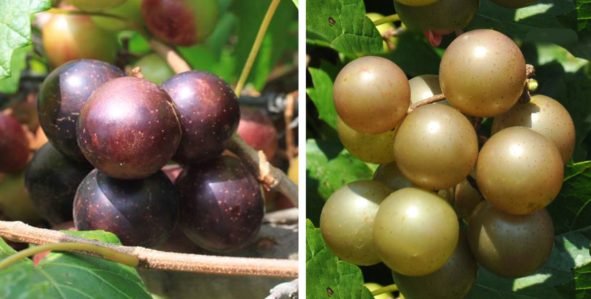 MUSCADINE-SCUPPERNONG-GRAPE-COMBO-WEBSITE